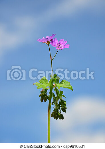 Hedgerow Crane's-bill (Pirenaicum geranio) - csp9610531