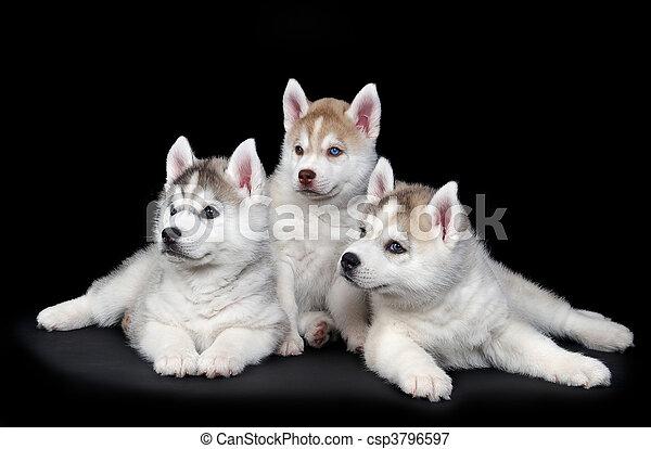 heiser, junger hund, sibirisch, hund - csp3796597