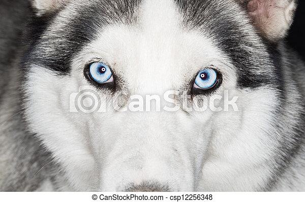 Nahaufnahme von Husky Hund - csp12256348