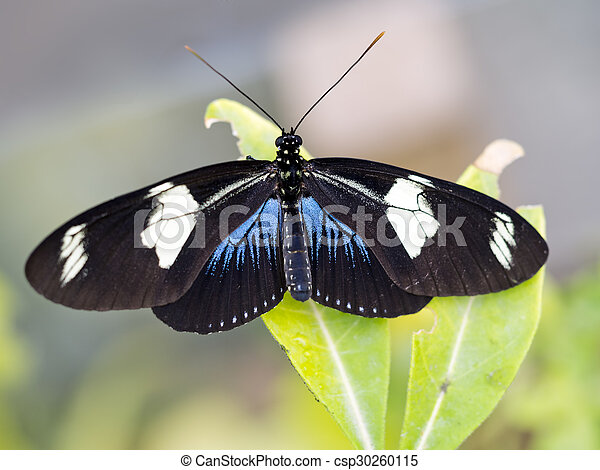 Heliconius sara butterfly. Black blue and white. - csp30260115