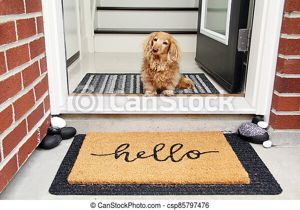 Hello. Longhair dachshund sitting in the front entrance of a home. - csp85797476