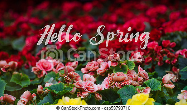 Hello Spring Lettering with Numerous bright flowers of tuberous begonias (Begonia tuberhybrida) in garden - csp53793710