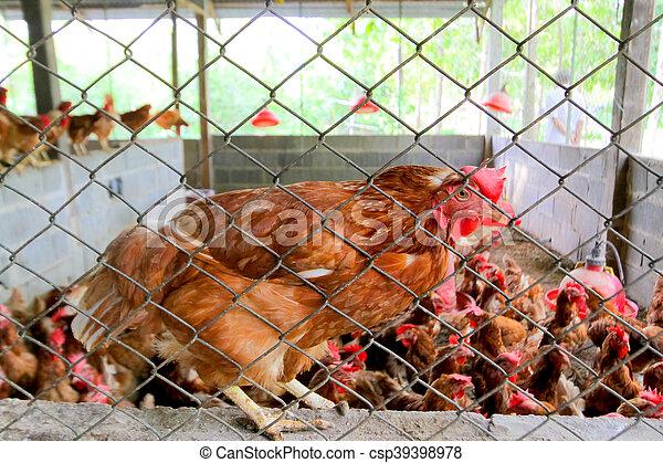 Help me please,chicken in the chicken coop. - csp39398978
