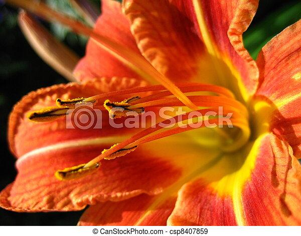 hemerocallis, fulva, liliaceae - csp8407859