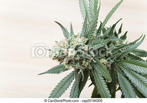 hemp bloom - csp25194305
