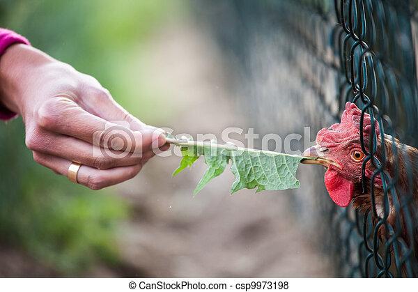 hen in a farmyard (Gallus gallus domesticus)  - csp9973198