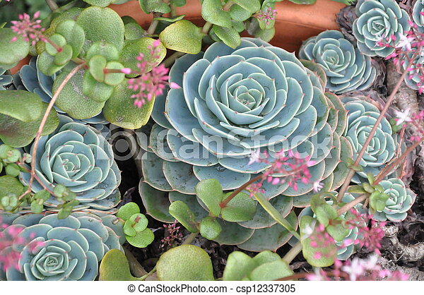 Hens And Chicks Plant Hens And Chicks Houseleek Plant