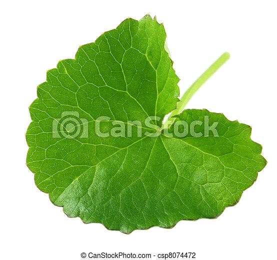 Herbal Thankuni leaf - csp8074472