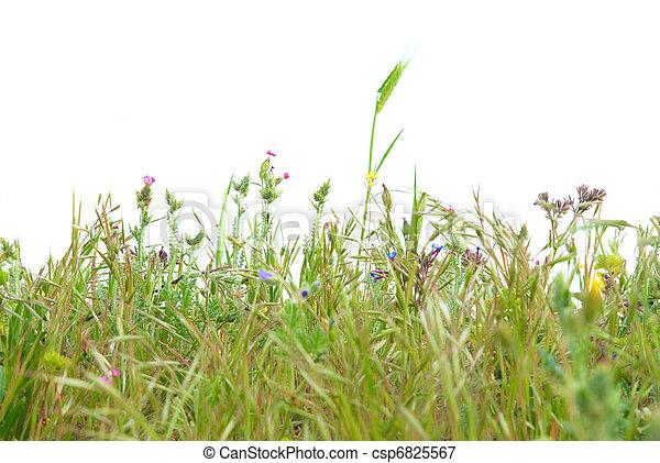 herbe, vert, isolé - csp6825567