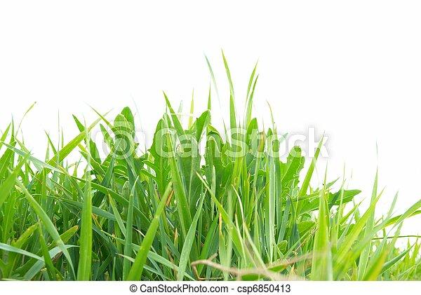 herbe, vert, isolé - csp6850413