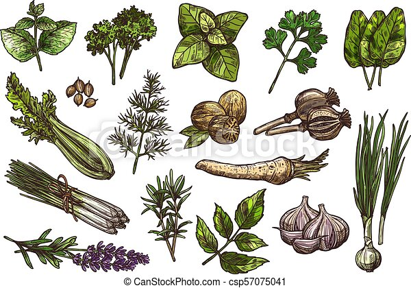 Herbs, spice and condiment sketch of food design - csp57075041