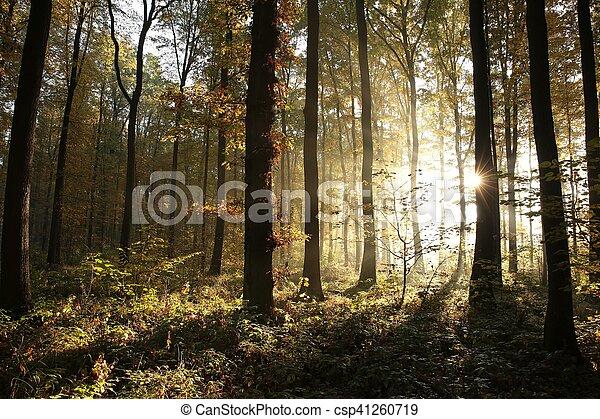 Autumn-deciduous Forest bei Sonnenaufgang - csp41260719