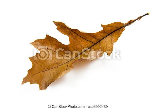 Ein braunes Herbstblatt - csp5992439