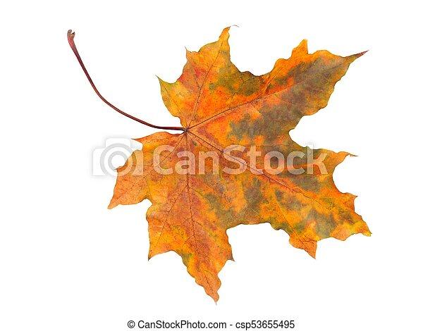 Herbstblatt auf weiß - csp53655495