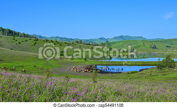 Herd of cows and horses on mountain flowering pasture on the bank of lake - csp54491108