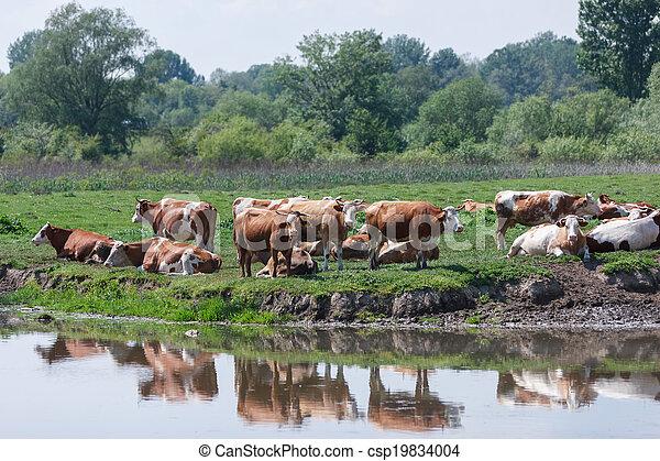 Herd of cows in a field - csp19834004