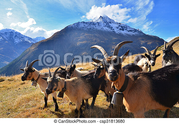 herd of goats in the mountains - csp31813680
