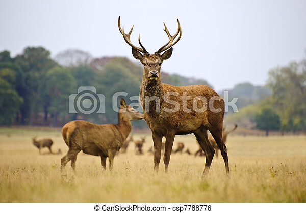 Herd of red deer stags and does in Autumn Fall meadow - csp7788776