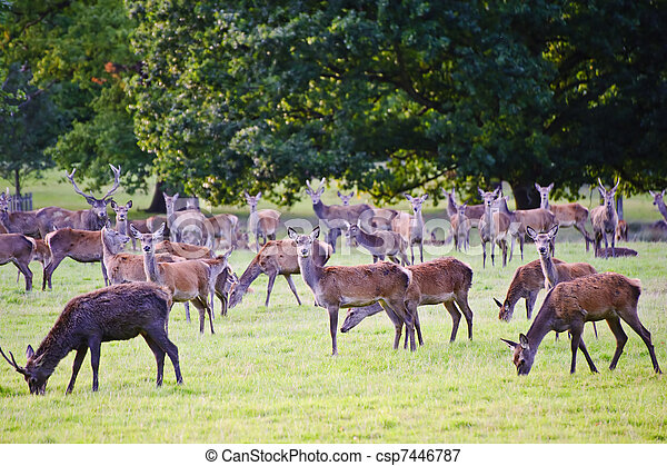 Herd of red deer stags and hinds during rut season in Autumn Fall  - csp7446787