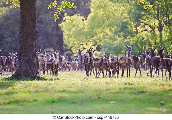 Herd of red deer stags and hinds during rut season in Autumn Fall  - csp7446755