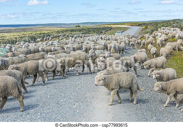 Herd of sheep on the road in Tierra del Fuego - csp77993615