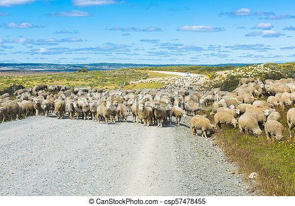 Herd of sheep on the road in Tierra del Fuego - csp57478455