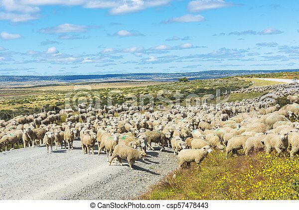 Herd of sheep on the road in Tierra del Fuego - csp57478443