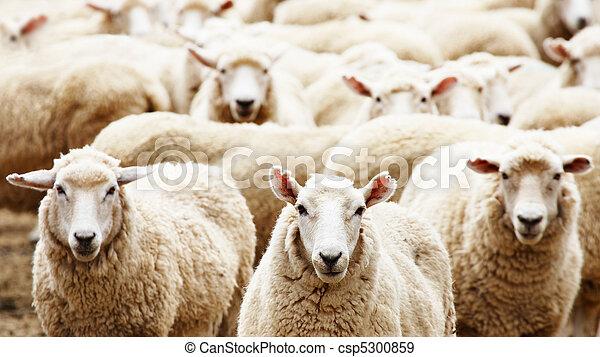 Herd of sheep - csp5300859