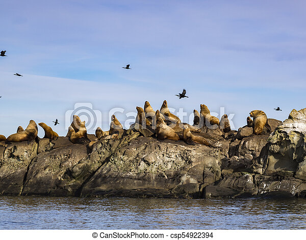 Herd of Steller Sea Lions (Eumetopias jubatus) - csp54922394