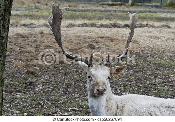 Herd of white fallow deer (Dama dama) - csp56267094