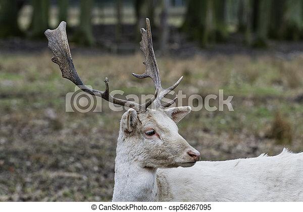 Herd of white fallow deer (Dama dama) - csp56267095