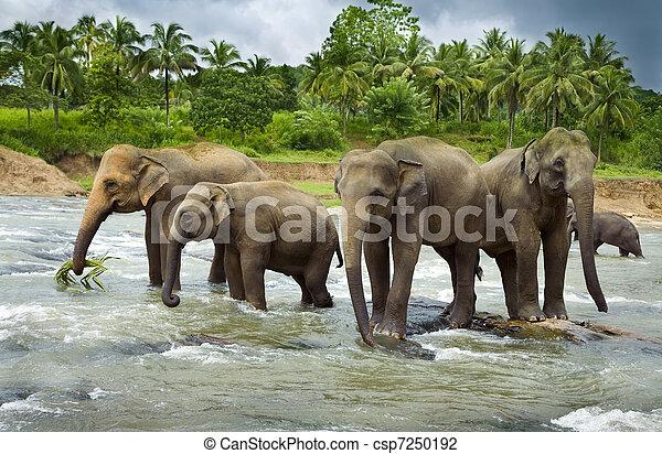 herde, asiatisch, elefanten - csp7250192