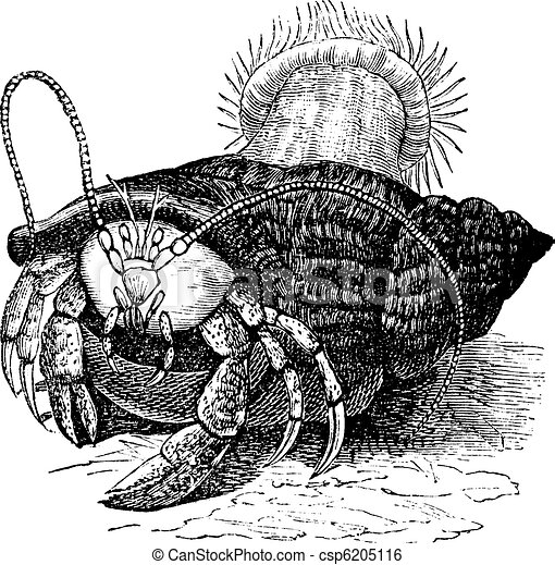 Hermit crab dragging Sea anemones, vintage engraving. - csp6205116