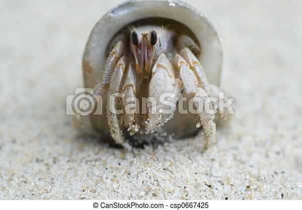 hermit crab - csp0667425