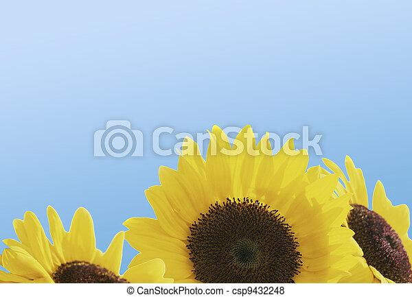 Hermosos girasoles con cielo azul - csp9432248