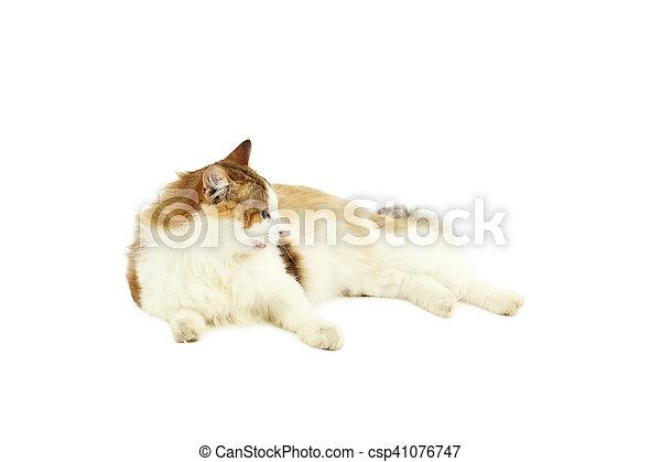 Hermoso gato aislado en un fondo blanco - csp41076747