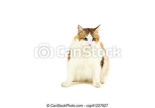 Hermoso gato aislado en un fondo blanco - csp41227627