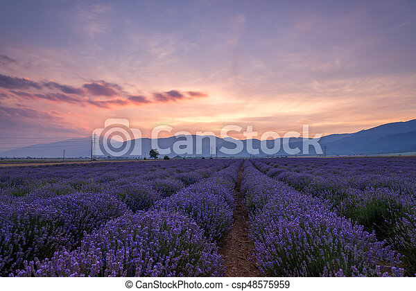 Campos de lavanda. Hermosa imagen de campo de lavanda - csp48575959