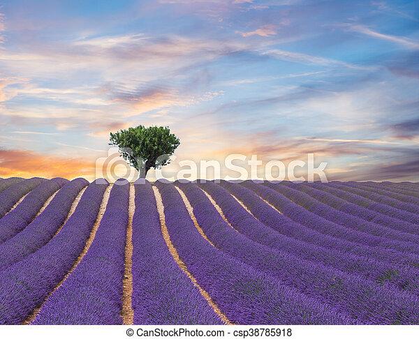 hermoso, campo, lavanda, paisaje, florecer - csp38785918