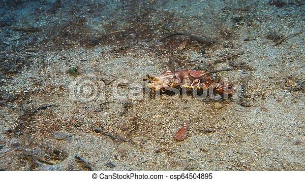 Hermoso Faraón Cuttlefish en un colorido arrecife de coral tropical - csp64504895