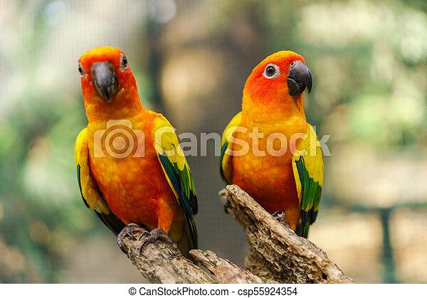 Hermoso sol colorido conure aves loros en la rama del árbol - csp55924354
