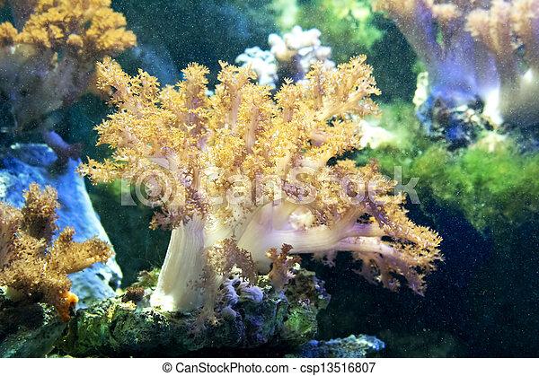 hermoso, coral - csp13516807