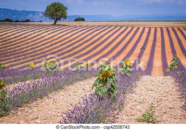 Hermoso paisaje de campo de lavanda floreciente, solitario árbol cuesta arriba en horizonte. Provenza, Francia, Europa. - csp42558743