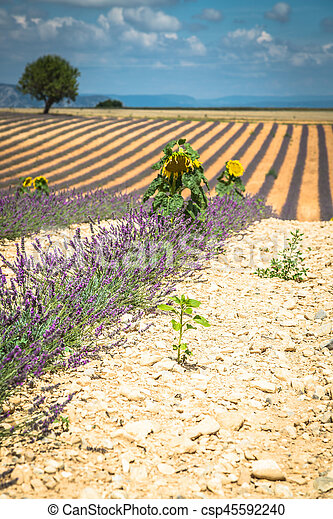 Hermoso paisaje de campo de lavanda floreciente, solitario árbol cuesta arriba en horizonte. Provenza, Francia, Europa. - csp45592240