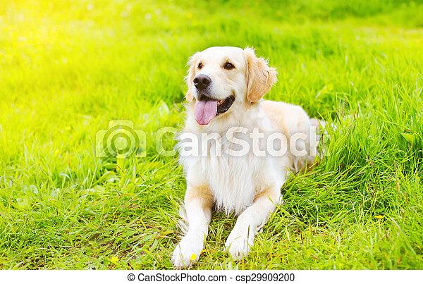 hermoso, dorado, verano, soleado, perro, pasto o césped, día, acostado, perro cobrador - csp29909200