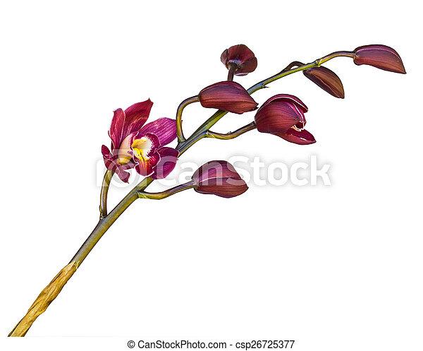 La Orquídea Flor hermosa está aislada en el fondo blanco - csp26725377