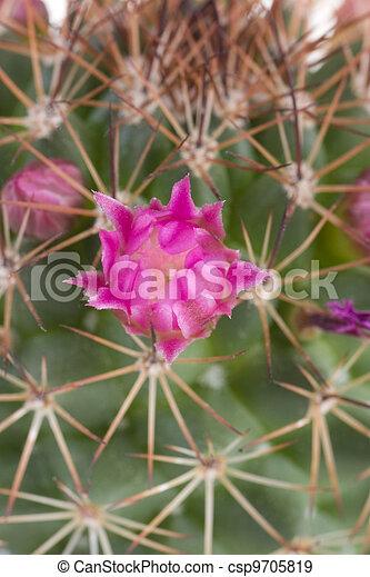 hermoso, flores, cacto - csp9705819