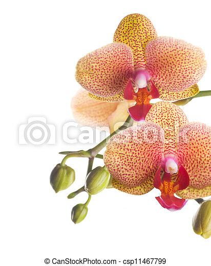 Linda frontera de orquídeas - csp11467799