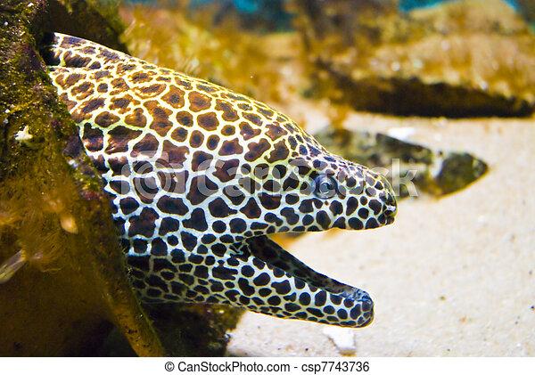 Hermoso y peligroso barracudo hambriento - moray en el atolón - csp7743736