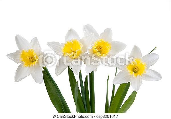 hermoso, narciso, primavera - csp3201017